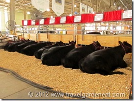 Cattle Barn at the MN State Fair