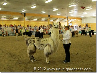Llamas at the MN State Fair