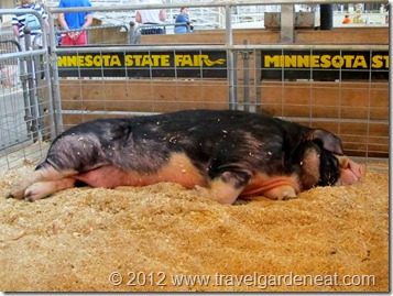 The Largest Boar at the MN State Fair
