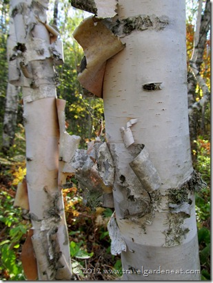 Minnesota birch trees
