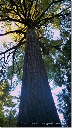 Endless pine