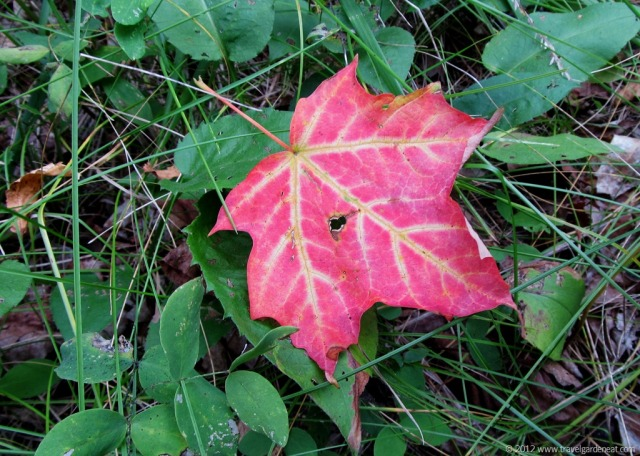 Maple Leaf ~ Fall in Northern Minnesota