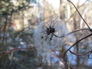 Seed Pod along a Northern Minnesota Trail