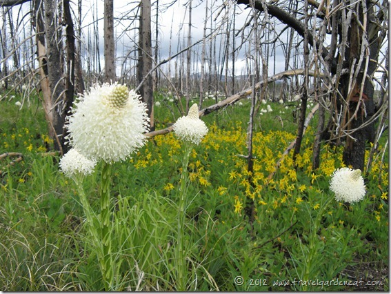 Beargrass ~ Glacier National Park, Montana