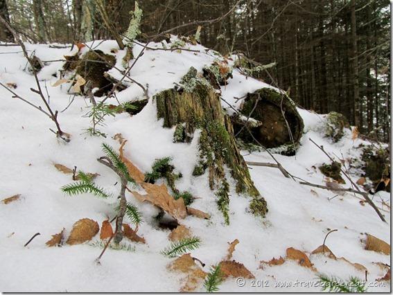 Mossy stump in early winter ~ Minnesota