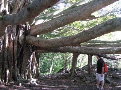 Banyan tree along the Pipiwai Trail ~ Maui