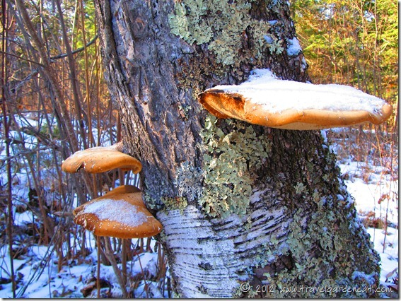 Early winter tree lichens ~ Minnesota