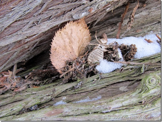 Beetle Shell in the Old Cedar Tree ~ Northern Minnesota