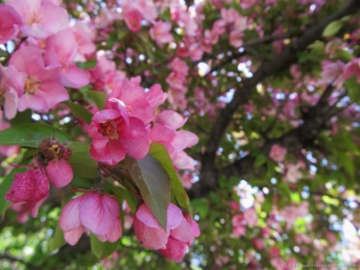 Crab apple tree blossoms (May)
