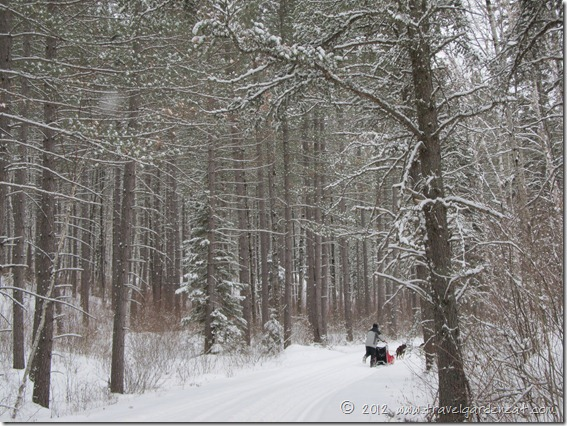 Pines line the trail  ~ White Wilderness Sled Dog Adventures