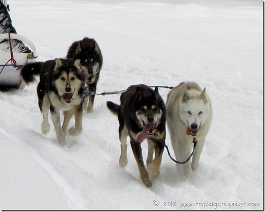 Happy dogs! ~ White Wilderness Sled Dog Adventures