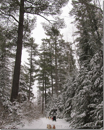 Magnificent pines along the trail ~ White Wilderness Sled Dog  Adventures