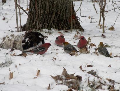 Pine Grosbeaks (November)