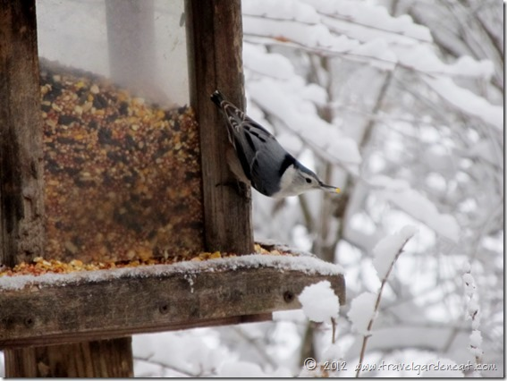white breasted nuthatch 2 12_9_12