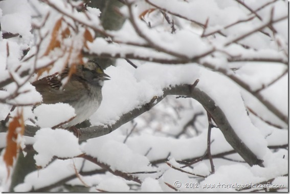 white throated sparrow 12_9_12