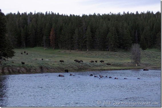 Evening buffalo river crossing in Yellowstone National Park