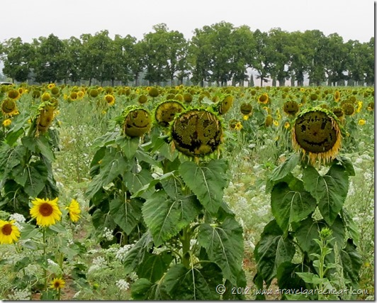 San Galgano's Sunflower Fields