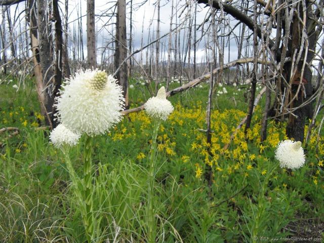Beargrass in Glacier National Park