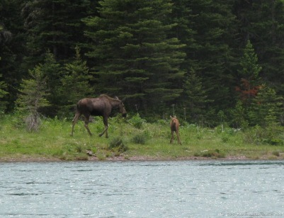 Moose on Swiftcurrent Lake