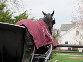 A horse waits patiently for its Amish driver to return