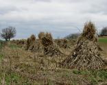 Shocks of corn stalks
