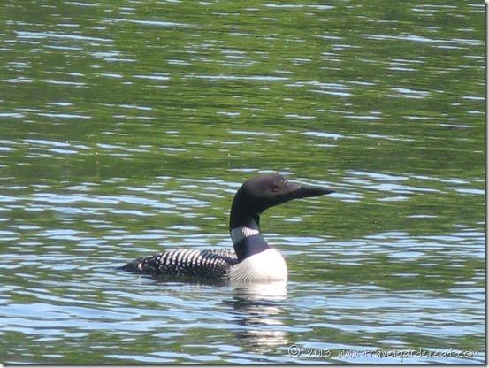 Minnesota's state bird, the Common Loon