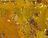 Golden birch leaves