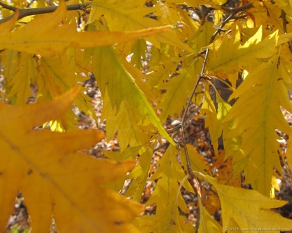 Golden birch leaves