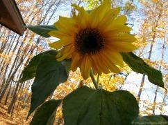 Cheerful sunflower