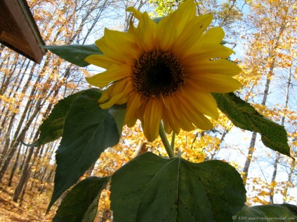 Cheerful sunflower
