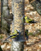 Goldfinches at the feeder