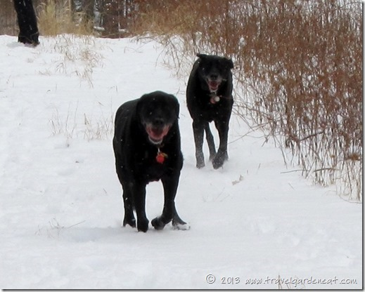 Black labs galloping through the snow