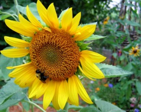 Busy bee on the sunflower
