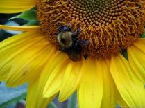 Yellow-striped bumblebee