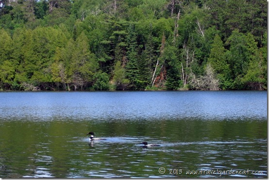 Loon pair in northern Minnesota