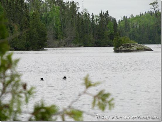 Loons on Long Island Lake ~ Boundary Waters, Minnesota