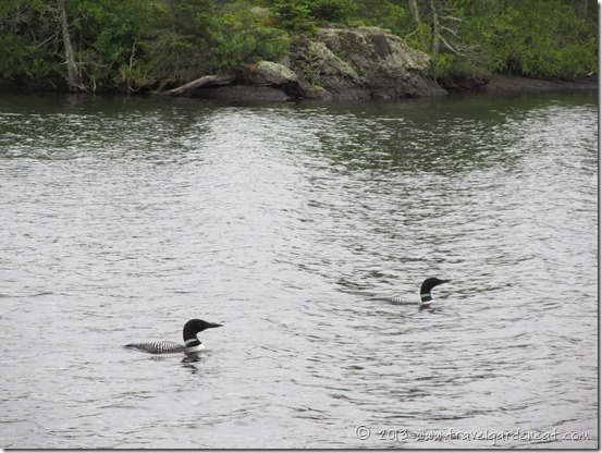 Loons on Long Island Lake, Boundary Waters, Minnesota