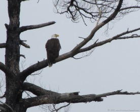 The majestic bald eagle