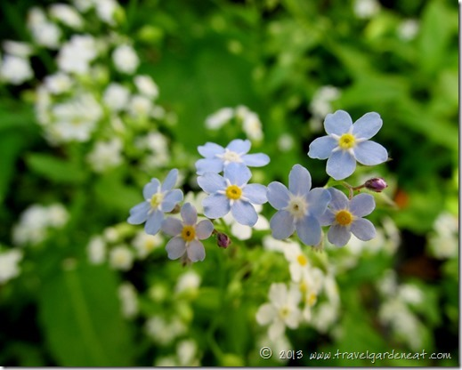 forget me not 7_1_13