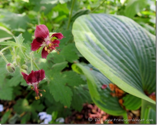 geranium hosta 7_1_13