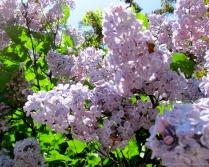 lilac-3-7_1_13.jpg