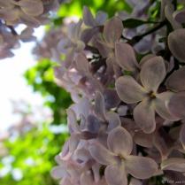 lilac-5-7_1_13.jpg