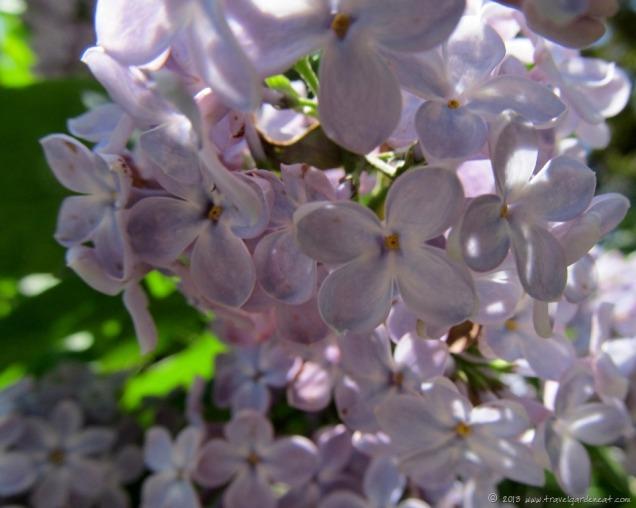 lilac-6-7_1_13.jpg