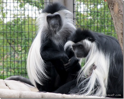 Angolan Colobus monkeys ~ Lake Superior Zoo