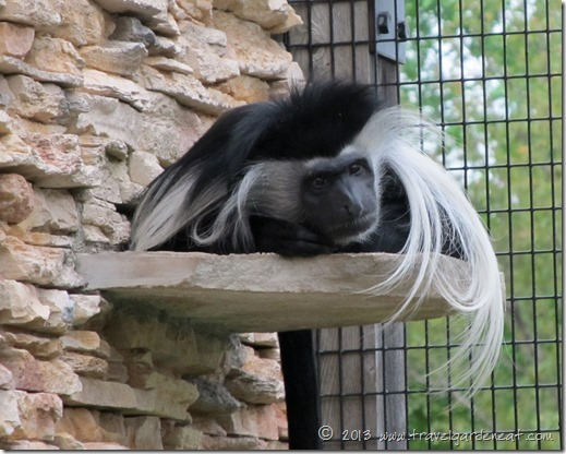 Angolan Colobus monkey ~ Lake Superior Zoo