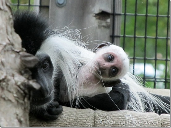 Kelly's baby, an Angolan Colobus monkey ~ Lake Superior Zoo