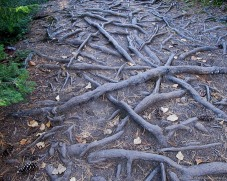 Pattern of tree roots lining the path