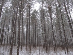 Lines of trees in the winter woods
