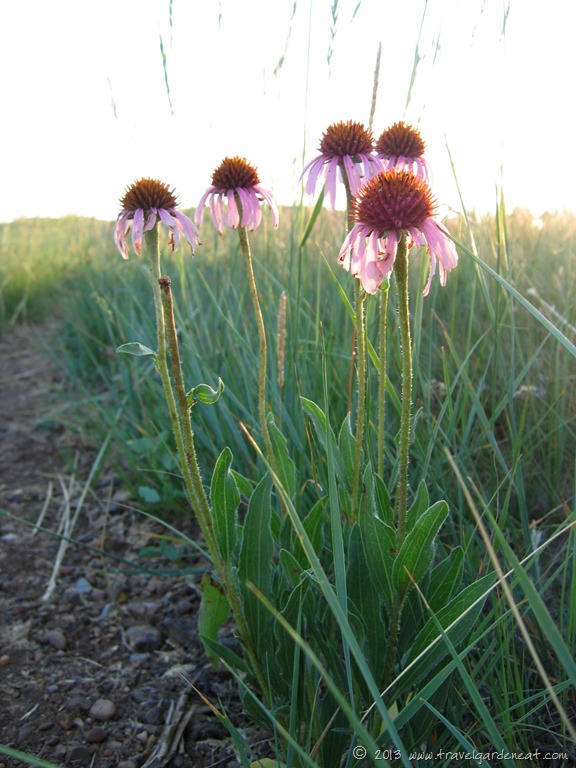 Coneflowers on the North Dakota prairie