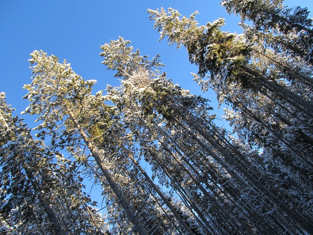 Towering pines on the Rendezvous Trails